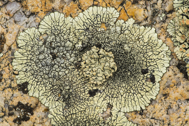 Lichen On Rock, Grasslands National Park; Saskatchewan, Canada
