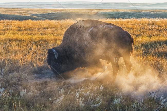 Bison (Bison Bison), Grasslands National Park; Saskatchewan, Canada