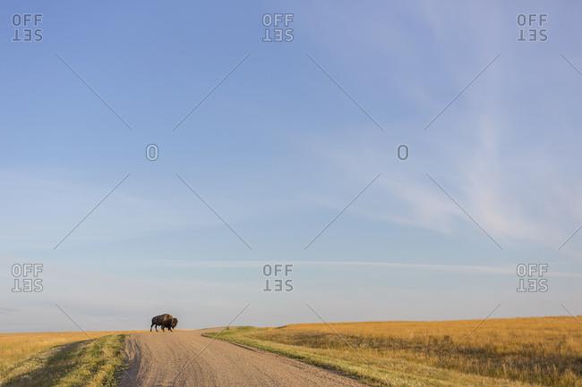 Bison (Bison Bison) Crossing The Dirt Road In Grasslands National Park; Saskatchewan, Canada