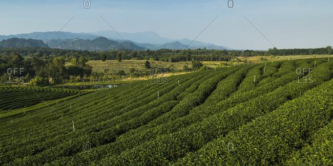 Tea Plantation; Tambon Si Kham, Chang Wat Chiang Rai, Thailand