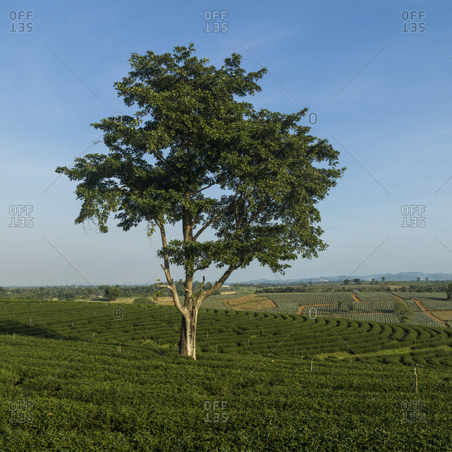 A Lone Tree Growing In A Tree Plantation With A Blue Sky Stretching Over Farmland; Tambon Si Kham, Chang Wat Chiang Rai, Thailand