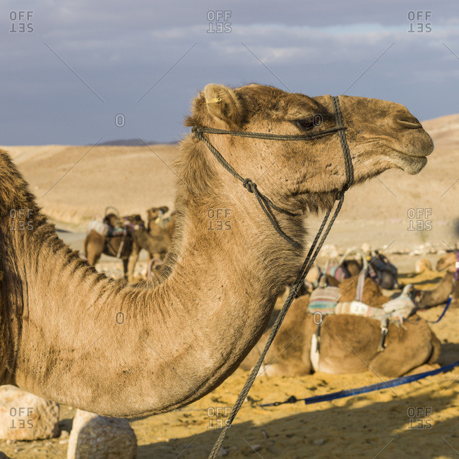 Camel's Neck And Head In The Foreground With Other Camels In The Background, Kfar Hanokdim; Ezor Beer Sheva, South District, Israel