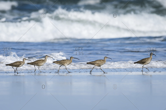 Whimbrels (Numenius Phaeopus) Look For Sand Crabs On The Beach In Oregon; Newport, Oregon, United States Of America