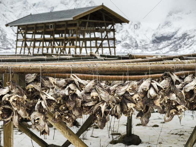 Arctic Cod Drying On Wooden Racks On The Shore In Winter; Lofoten Islands, Nordland, Norway