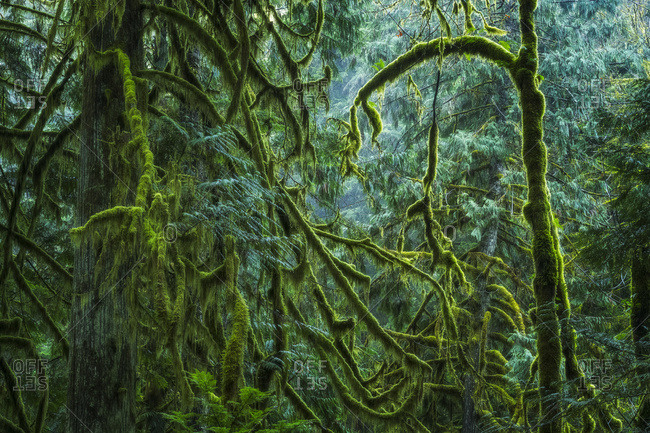 The Lush Rainforest Of Cathedral Grove, Macmillan Provincial Park, Vancouver Island; British Columbia, Canada