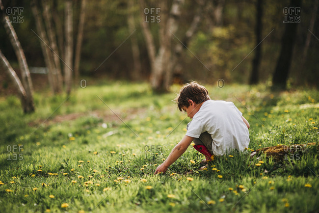 Young boy picking dandelions