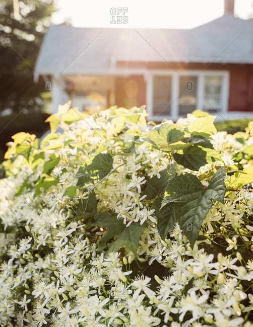 Flowers growing on bush in garden in front of home in Cape Cod