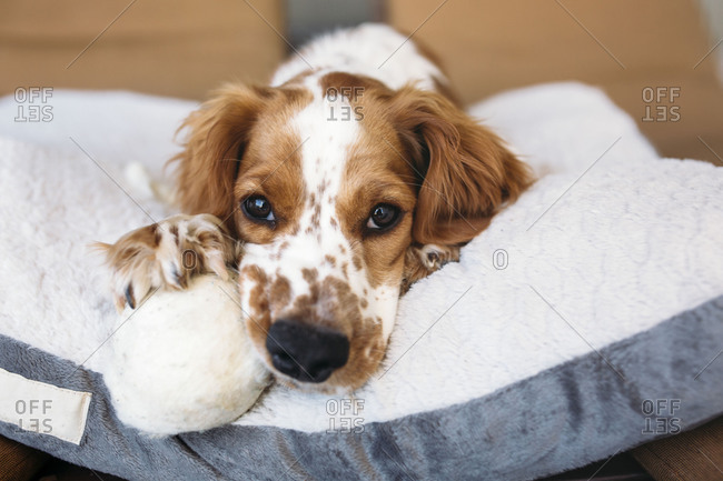 Welsh Springer Spaniel relaxing on a dog bed