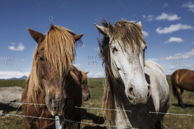 Two Icelandic horses  standing by a fence waiting to be petted