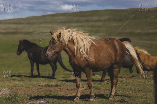 Icelandic horses in a field on a sunny summer day in Southwest Iceland