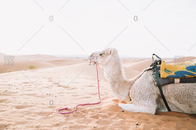 Side view of camel relaxing on sand at Merzouga desert against sky