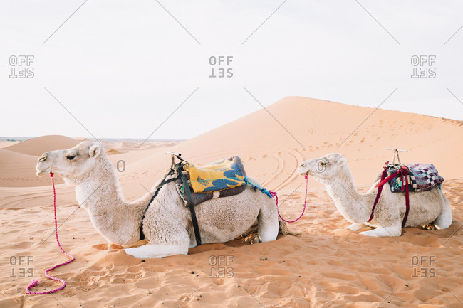 Side view of camels relaxing on sand at Merzouga desert against sky