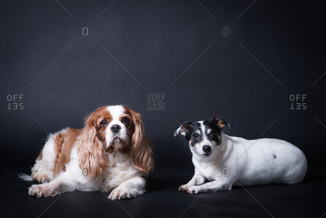 Studio portrait of Cavalier King Charles Spaniel and Jack Russell Terrier lying next to each other