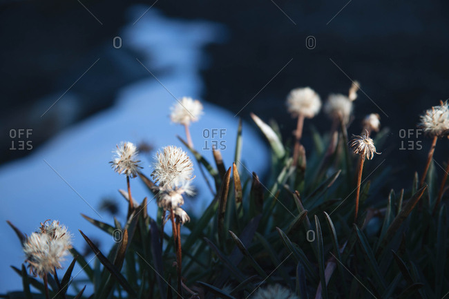 Small flowers and plant growth next to a snow patch