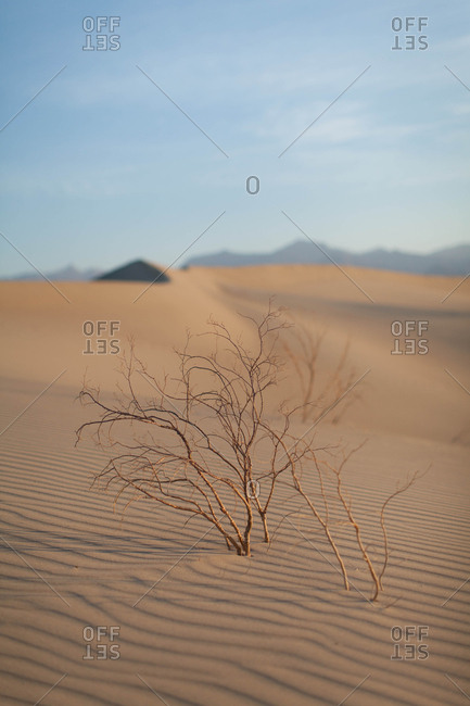 Desert plant growing out of windblown sand dune in Death Valley