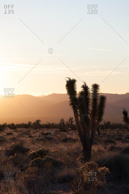 Joshua trees during sunset in Mojave desert