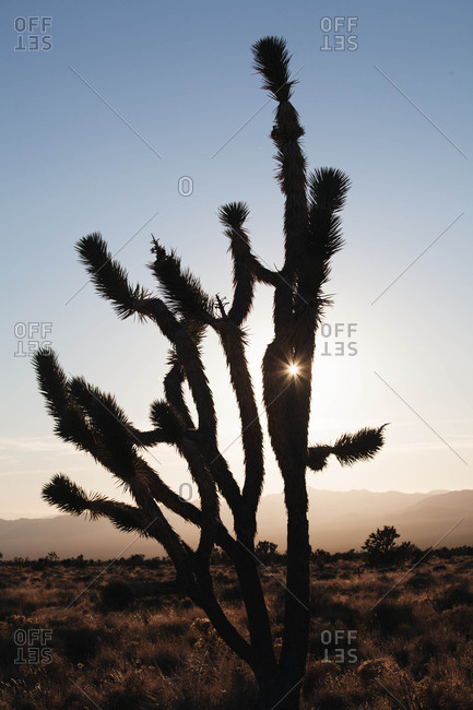 Sun coming through a silhouette of a young Joshua tree in the Mojave desert