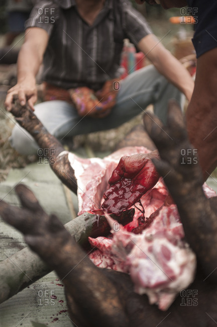 Rantepao, Sulawesi, Indonesia - September 3, 2013: Traditional animal sacrifice at a Toraja funeral