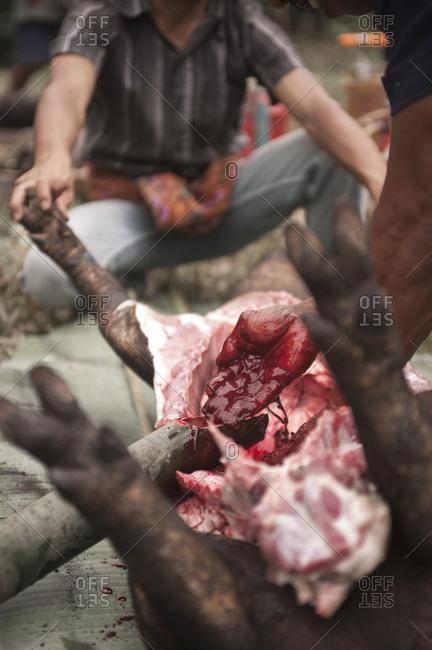 Rantepao, Sulawesi, Indonesia - September 3, 2013: Traditional animal sacrifice at a Toraja funeral