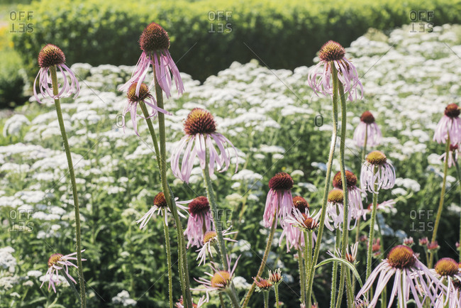 Purple coneflowers blooming in garden
