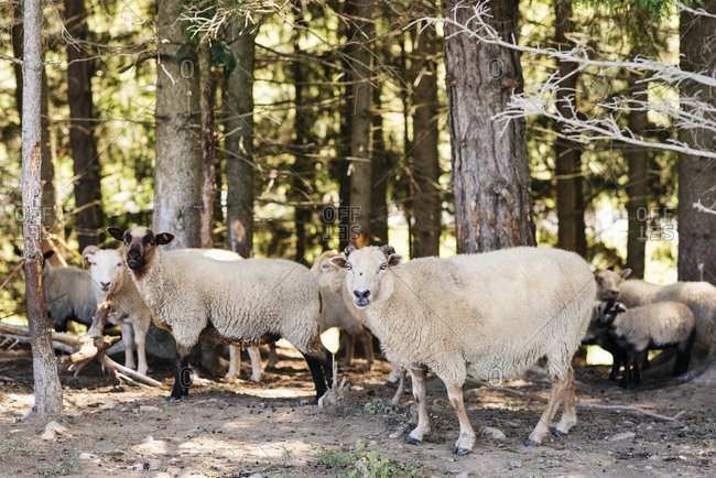Sheep standing against trees at forest