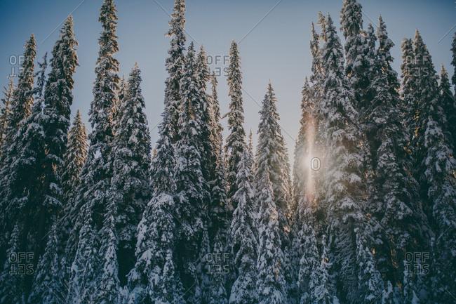 Sunbeams peeking through dense growth of snow covered fir trees