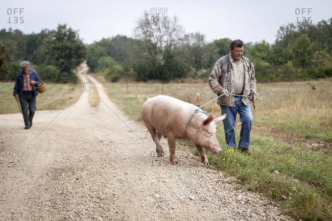 Lalbenque, France: July 28, 2012: Paul Pinsard leads Kiki the pig to the truffle grove while Michel Astruc follows