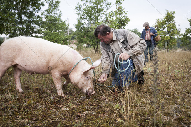 Lalbenque, France: July 28, 2012: Kiki the pig looking for truffles with owner Paul Pinsard and Michel Astruc, in truffle grove