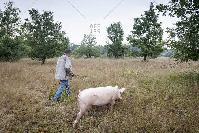 Lalbenque, France: July 28, 2012: Kiki the pig looking for truffles with owner Paul Pinsard in truffle grove