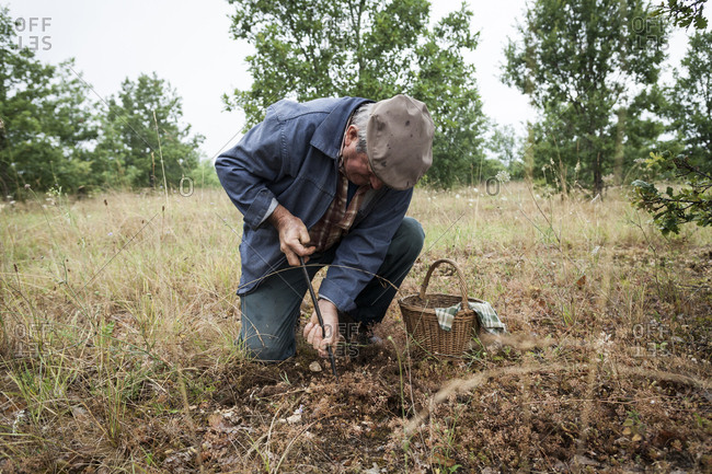 Lalbenque, France: July 28, 2012: Michel Astruc digging up a truffle with his truffadou
