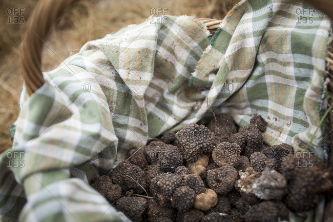 Lalbenque, France: July 28, 2012: Basketful of freshly unearthed truffles