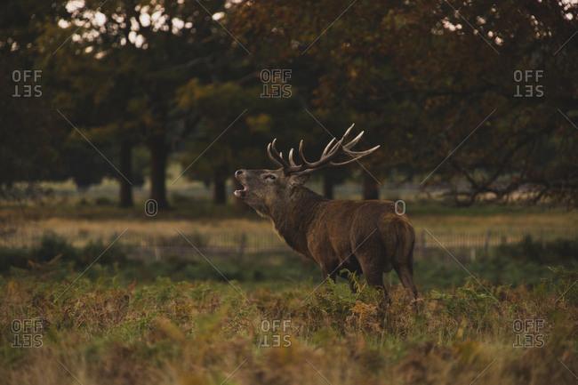 Side view of deer roaring on field