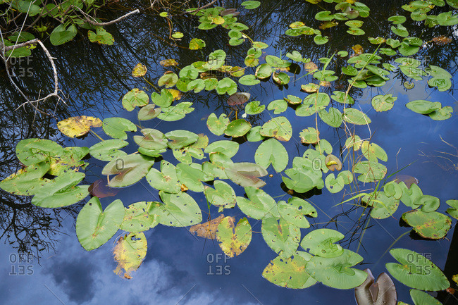 Lily pads in a marsh in the Everglades National Park, Florida