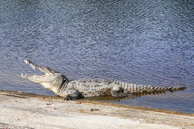 Crocodile in the Everglades National Park, Florida