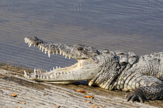 Crocodile opening it's mouth in the Everglades National Park, Florida