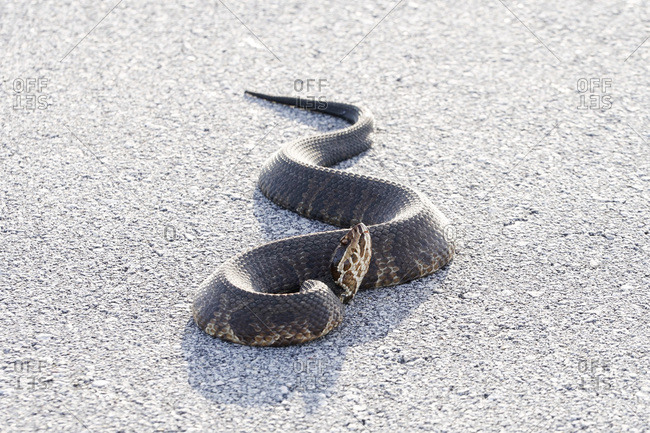 Cottonmouth snake in the Everglades National Park, Florida