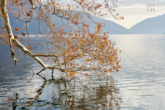 Tree branch hanging in Lake Lugano, Switzerland