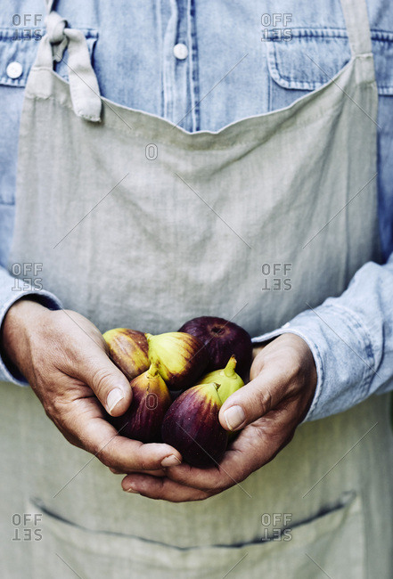 Freshly picked figs in farmers hands