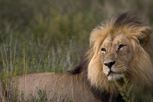 Male Lion at sunrise, Kgalagadi National Park, South Africa