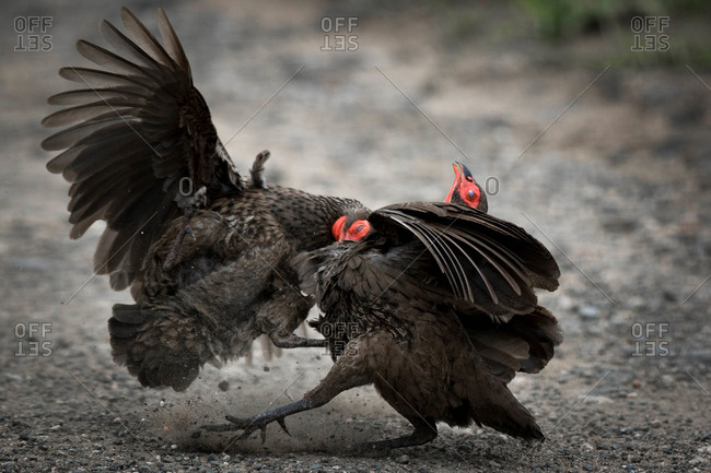 Fowls in a foul mood, Kruger National Park
