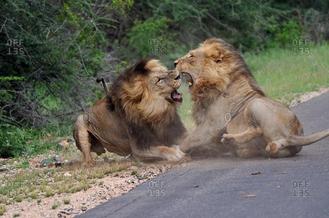 Brawling lions, Kruger National Park