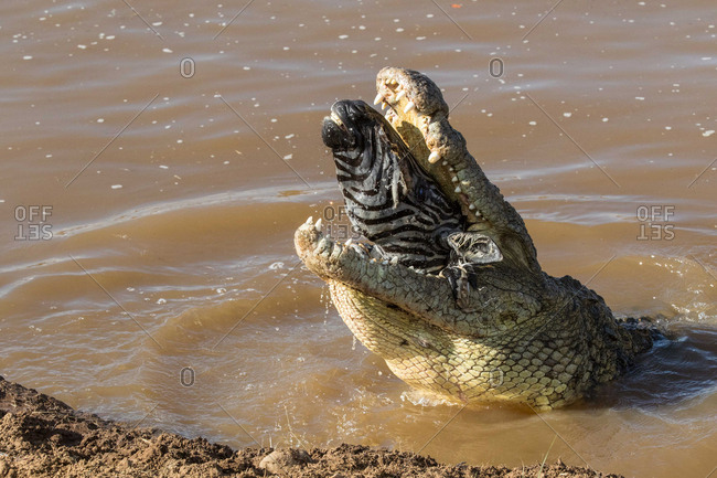 Torn apart by a crocodile, Maasai Mara National Reserve, Kenya