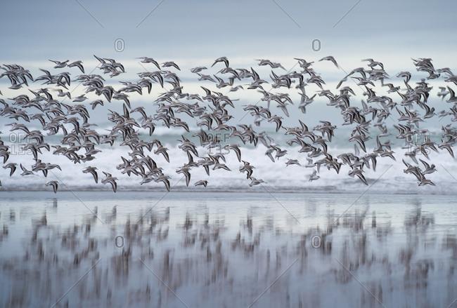Flock of Sanderlings flying along the shore line