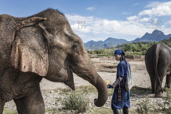 Luang Prabang, Laos - May 28, 2015: Mahout guiding an elephant and feeding it bananas