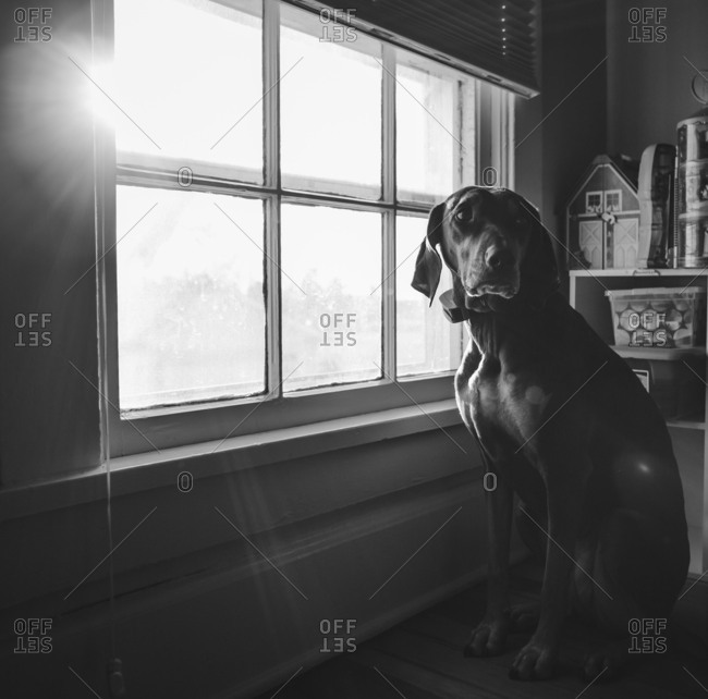 Family dog sitting forlornly at window