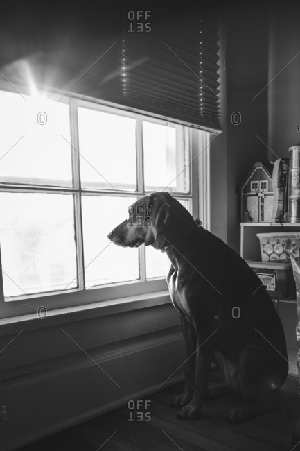 Family dog sitting at window waiting for someone to come home