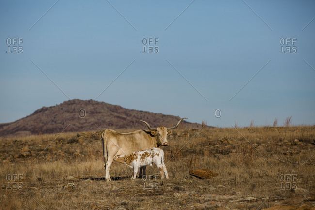 Texas Longhorn cow suckling her calf in arid pasture