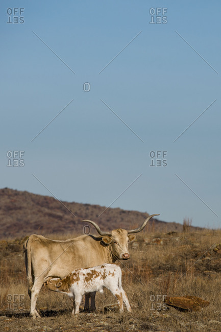 Texas Longhorn cow feeding her calf in arid pasture
