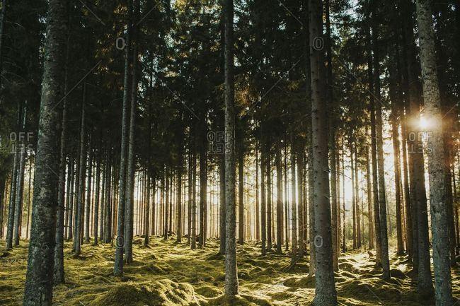 Sunlight peaking through lush mossy wood