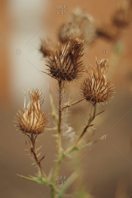 Close-up of dry thistle buds on plant
